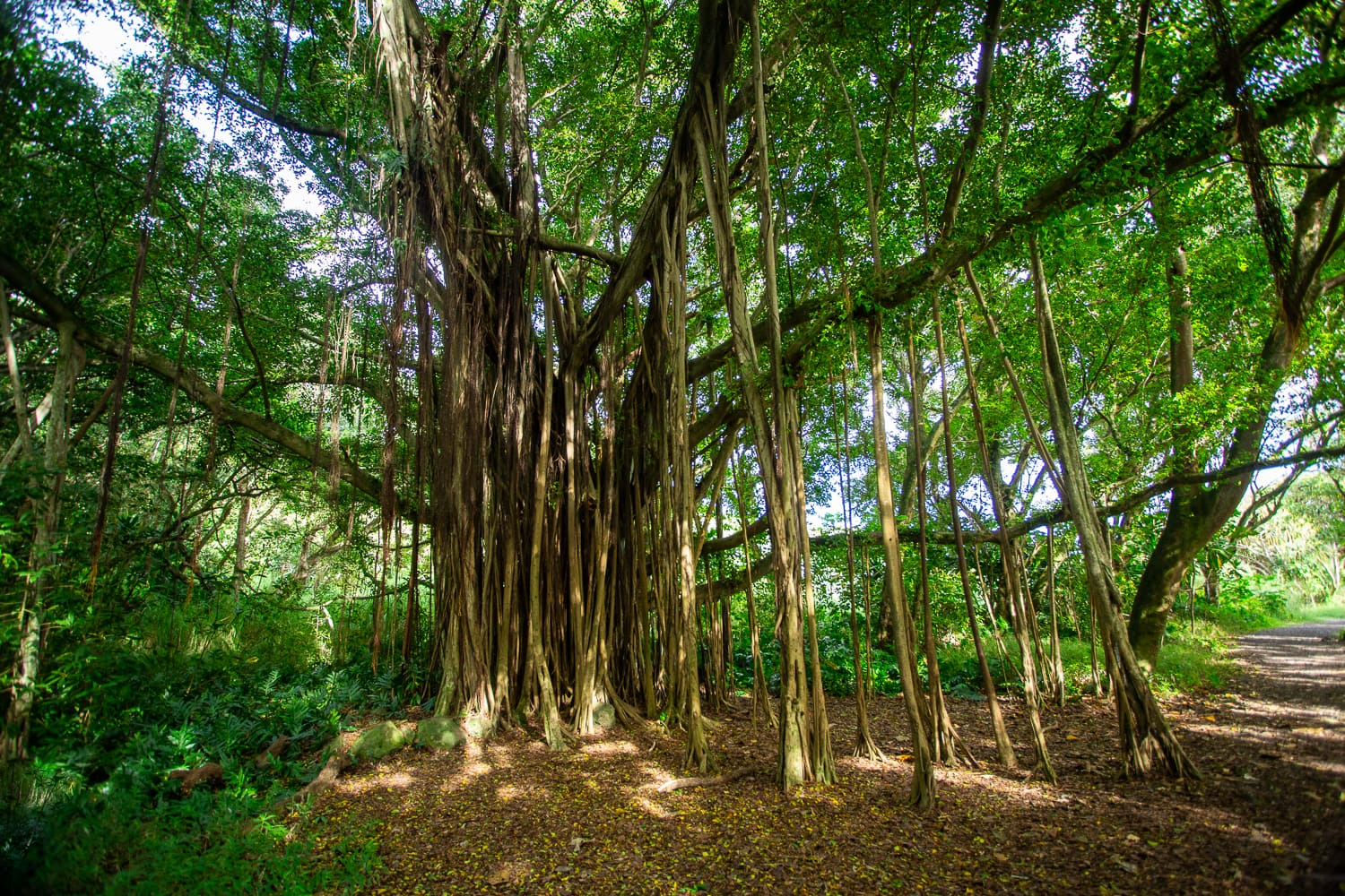 A banyan tree with large trailing buttresses.