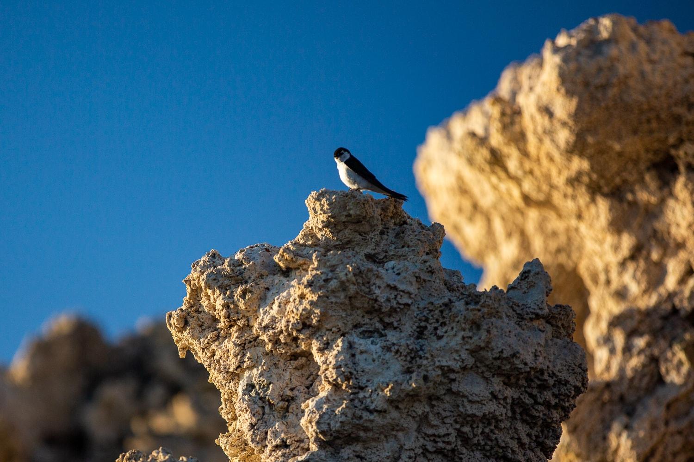 A tree swallow perches on Tufa