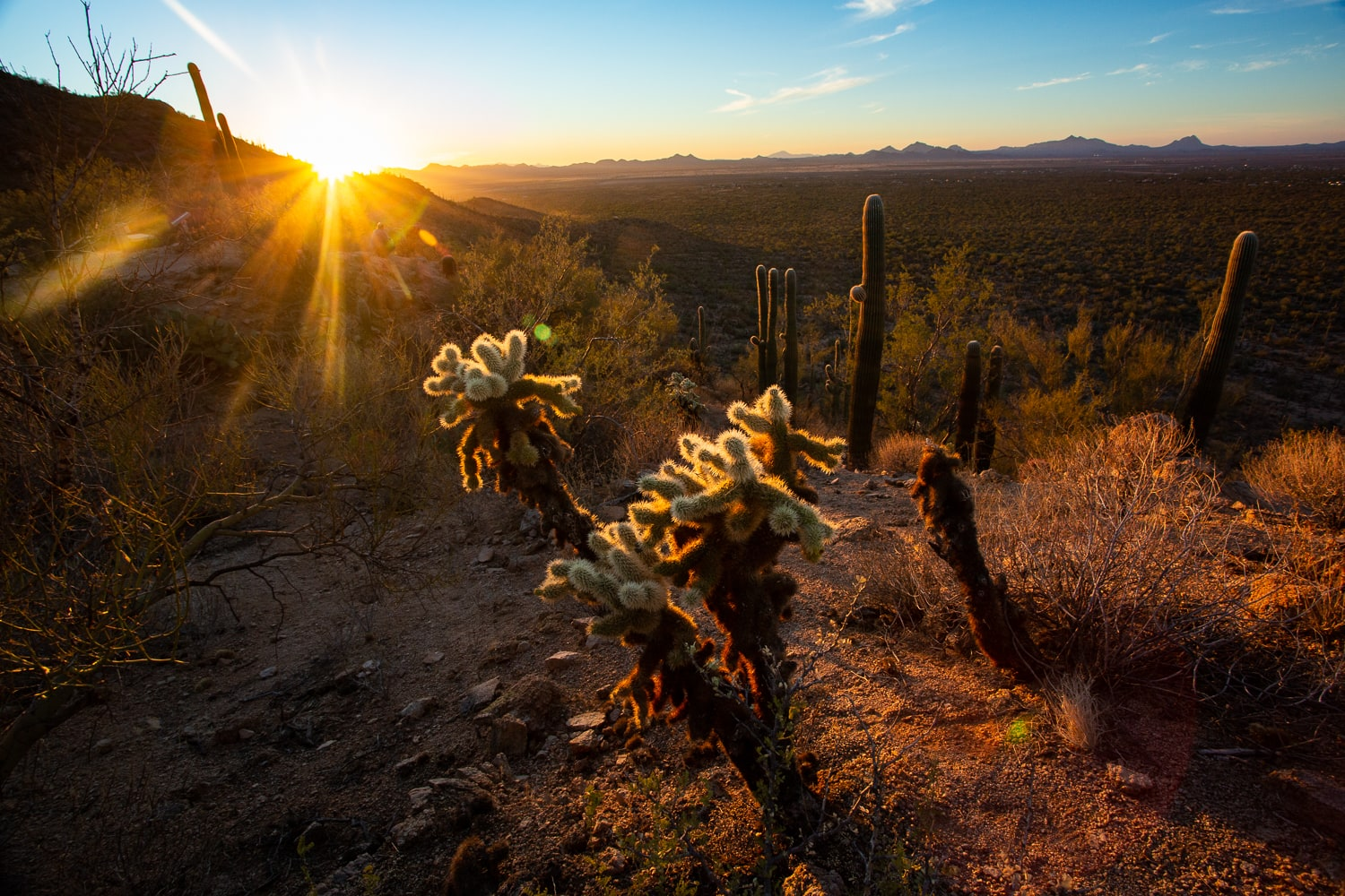 A cholla cactus in Saguaro National Park at sunset