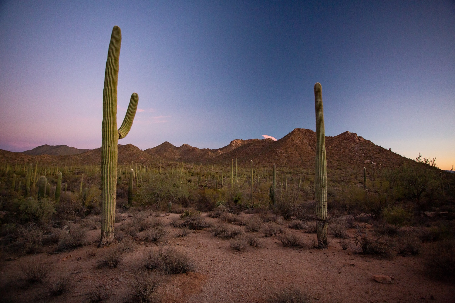A sunset photo with pink and blue sky above two saguaro cactuses in Saguaro National Park