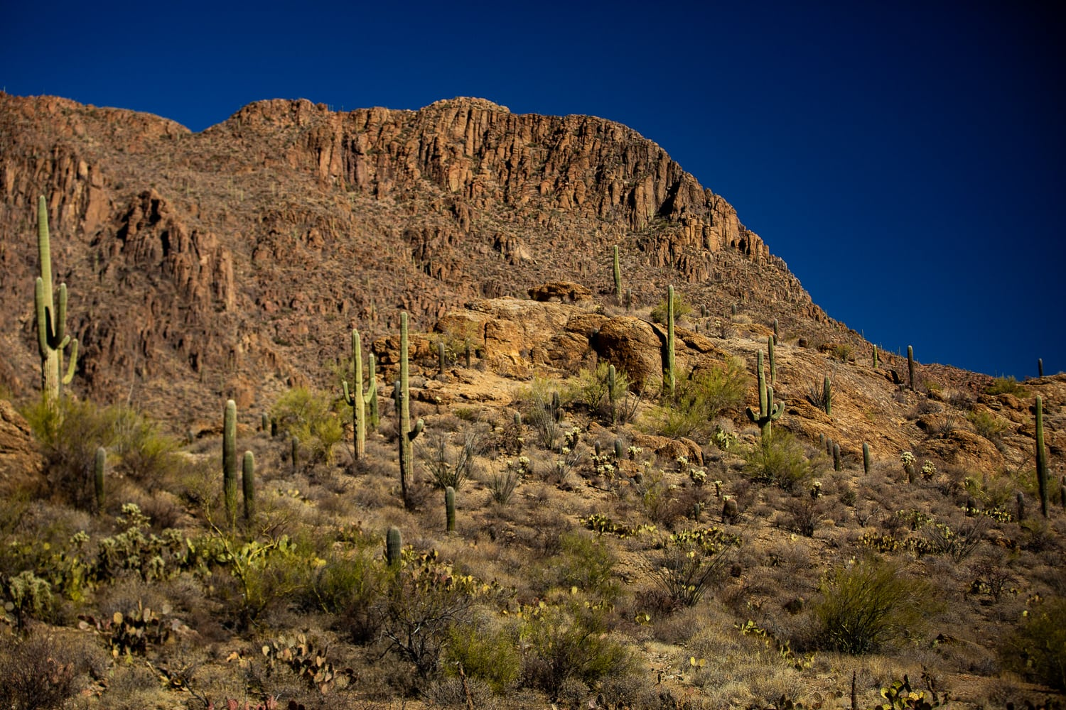 A landscape photo of Saguaro cactuses in Tucson Mountain Park against a blue sky.