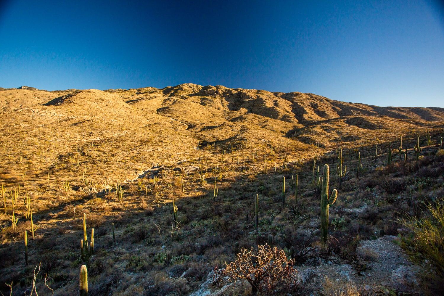 Saguaro cactuses dot the valley in the desert