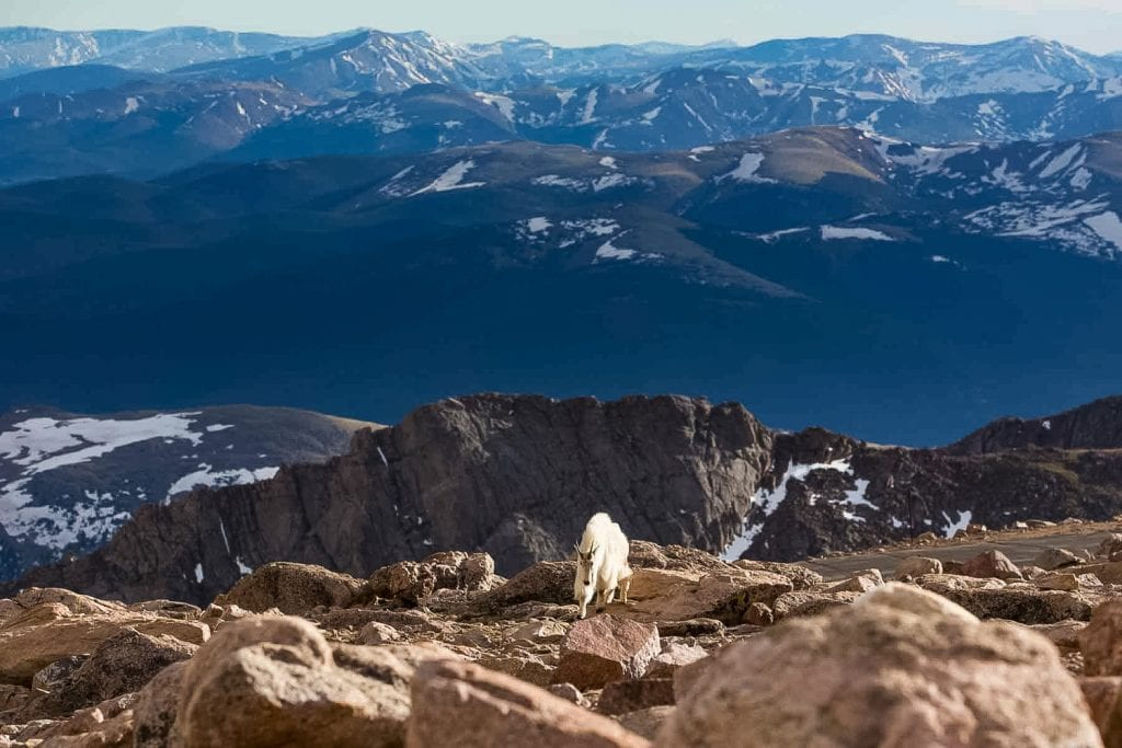 A mountain goat buck at the summit of Mt Evans, Colorado.