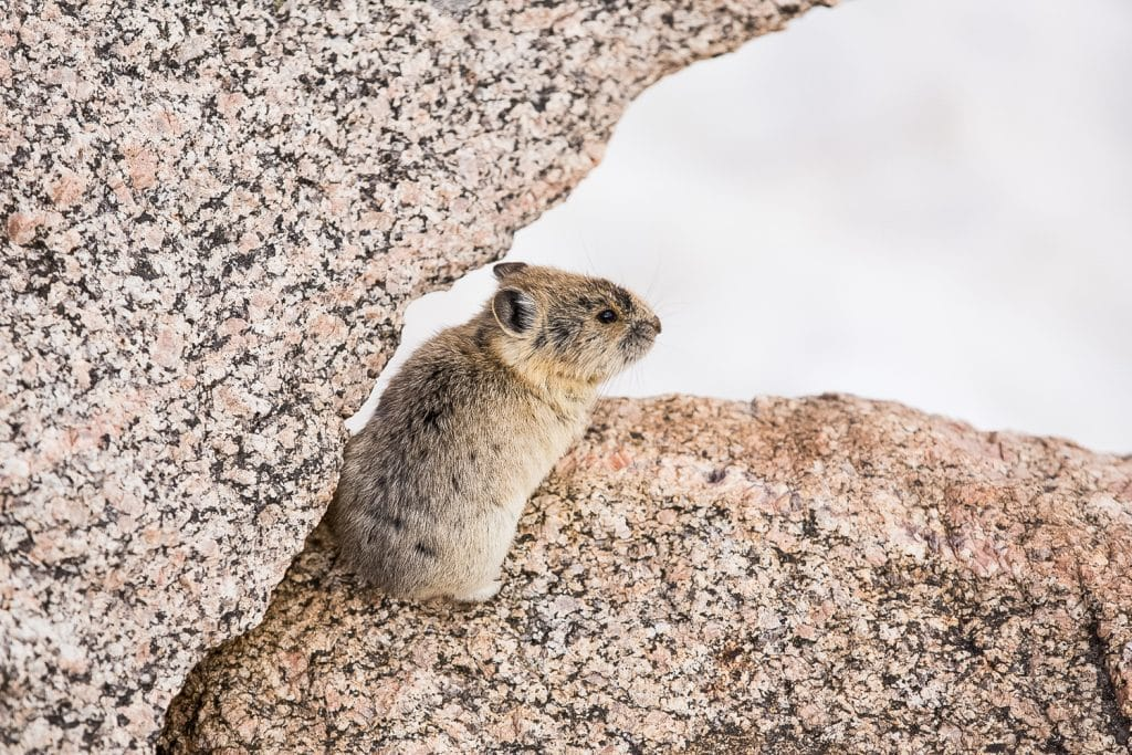 A pika against the snow at Mt. Evans.