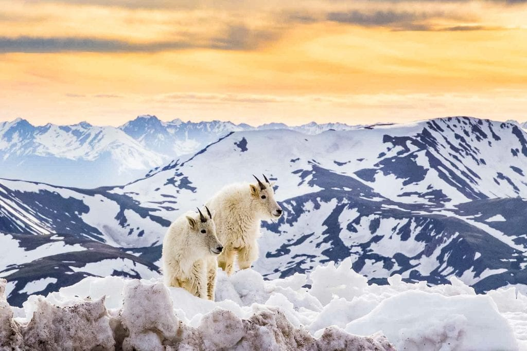 Two baby mountain goats at the summit of Mt. Evans with mountains in the background.