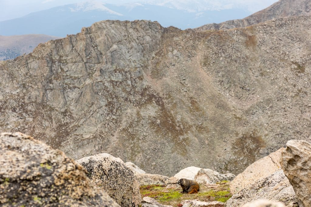 A marmot stands on the tundra alone Mt. Evans road.